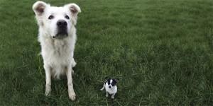 Ein großer weißer Hund und ein sehr kleiner schwarz Weißer Hund auf einer Wiese